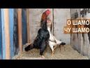 Бойцовые куры пород О Шамо и Чу Шамо. Птицеводческое хозяйство Натальи Мамедовой