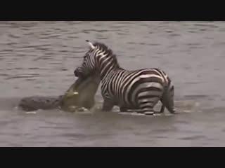 Нильские крокодилы атакуют зебр и антилоп гну