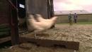 Bourg-en-Bresse, le poulet patriote de Bresse