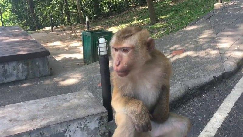 Гора обезьян на Пхукете. Тайланд