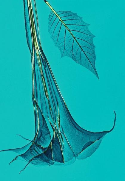 Фото растений, созданных с помощью рентгеновского излучения Алекс Реба (Ales Reba) креативный директор из Германии, который в свободное время занимается разными видами искусства, такими как