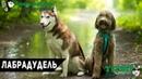 Собаки в нашей жизни Лабрадудель Цена, воспитание, уход