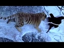 اقوه اكشن مو طبيعي هجوم النمر على البطل هجو