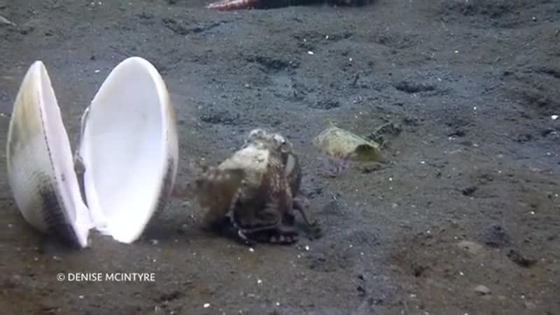 ..Кокосовый осьминог и его идеальный способ справиться с жизнью, когда она слишком достаёт...в проливе Лембе, Индонезия