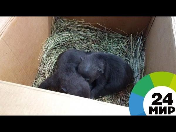 В Тверской области спасли 10 медвежат-сирот - МИР 24