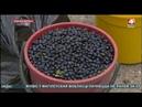 Рекордный объем черники заготовили в Могилевской области БЕЛАРУСЬ 4 Могилев