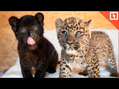 Кусь! Малыши пантера и леопард
