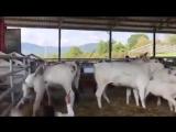 Homem leva coice de vaca
