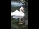 Озеро с лебедями в Воронцовском парке
