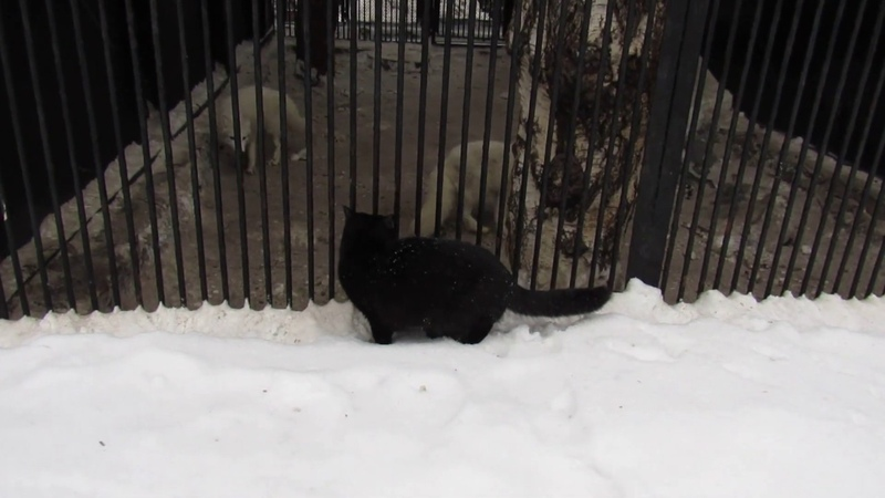 Очень смелая кошка охотится 20 01 19 г