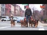 Переводчик с собачьего: выгуливает стаю овчарок без поводка