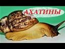 Улитки Ахатины уход размножение и содержание чем кормить Achatina fulica