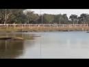 Чёрный кайман атакует и убивает щенка в Lagoa Maior