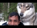 Wolf like dog video compilation