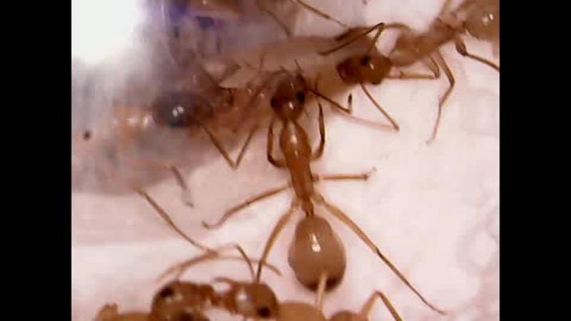 Camponotus sanctus распаковка нового рабочего