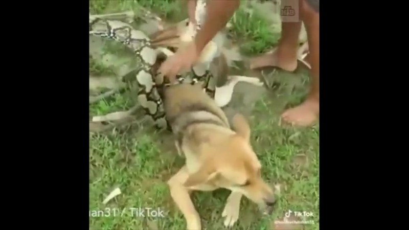 Трое мальчиков голыми руками отбили собаку от душившего ее питона. Смотрите, сколько им пришлось приложить усилий. Настоящие гер