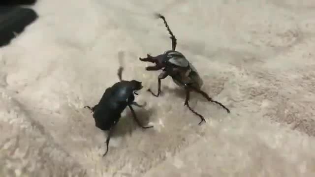 Battle beetles