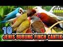 10 Burung Finch Yang Paling Banyak Di Cari Untuk Di Pelihara II Burung2 Finch Cantik Menarik