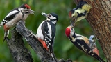 Beautiful sound of nature- Eurasian pygmy, Common Cuckoo Singing And Woodpecker feeding their babie