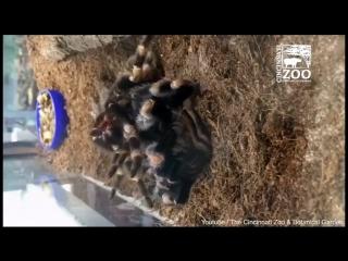 Семичасовую линьку паука-птицееда уложили в минутное видео
