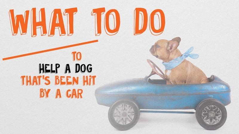 Как помочь собаке, попавшей под машину / What To Do To Help A Dog Hit By A Car