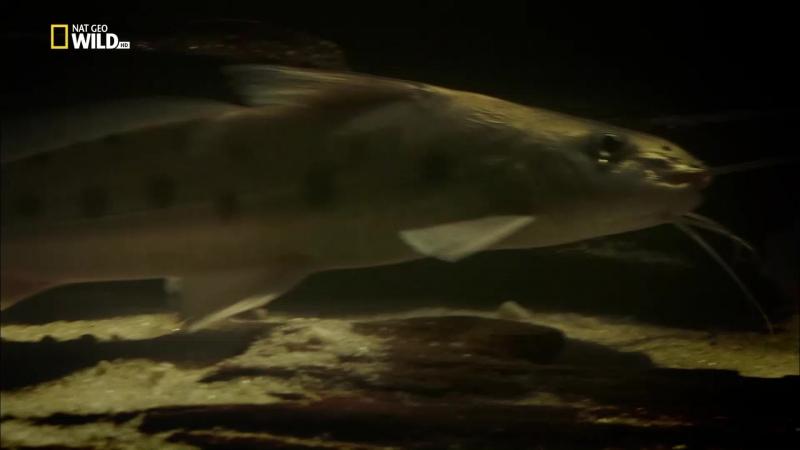 Амазонская электрическая рыба