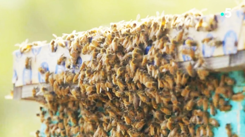 L'attaque des abeilles tueuses - ZAPPING SAUVAGE