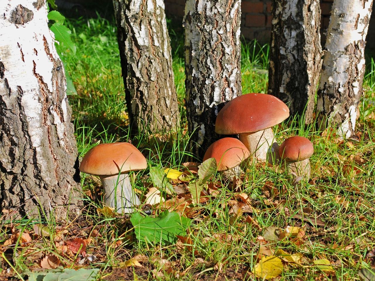 Картинки грибы в лесу для детей, хризантемы