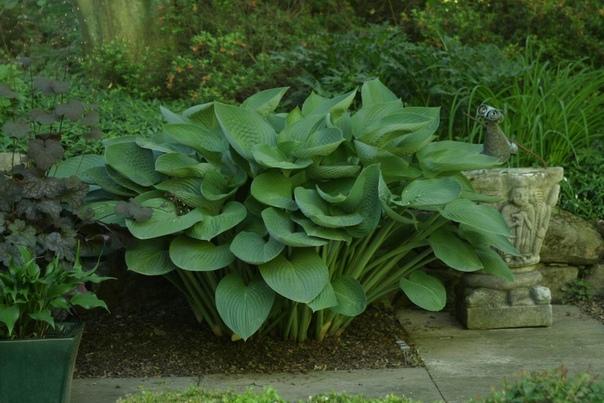 хоста ти рекс очень большая хоста высотой 75 см, разрастается в ширину до 180 см, полностью достигая сортовых качеств на 4-5 сезон. листья зелёно-синие, слегка волнистые, огромные, размером