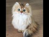Этого зеленоглазого красавца зовут Смузи. А как зовут твоего котика? 🐱