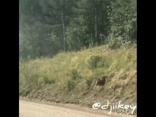 Медведи-попрошайки совсем страх потеряли