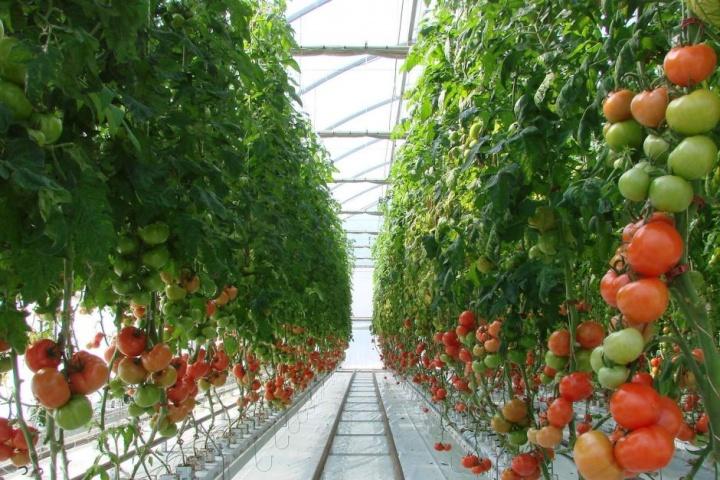Карачаево-Черкесия замкнула пятерку лучших регионов по выращиванию тепличных овощей