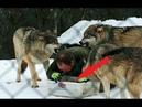 Он попытался доказать волкам, что он Альфа. Вот что из этого вышло.