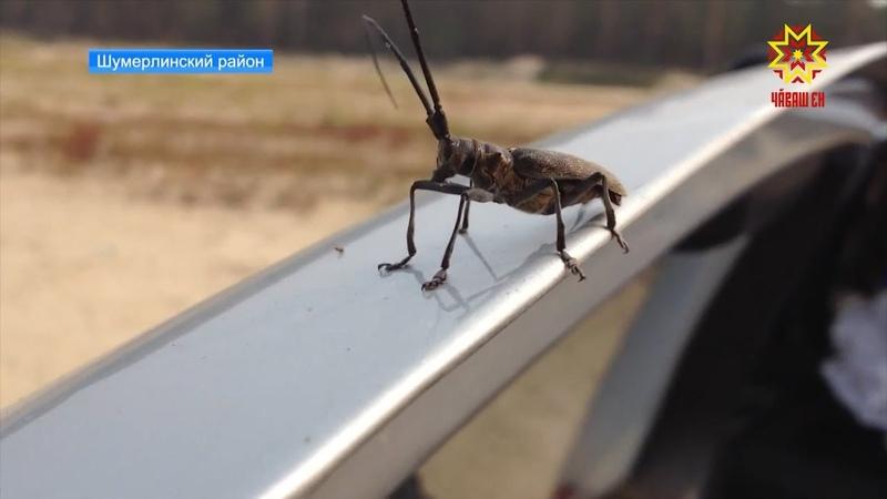 Специалисты Россельхознадзора расставляют ловушки для жуков-усачей