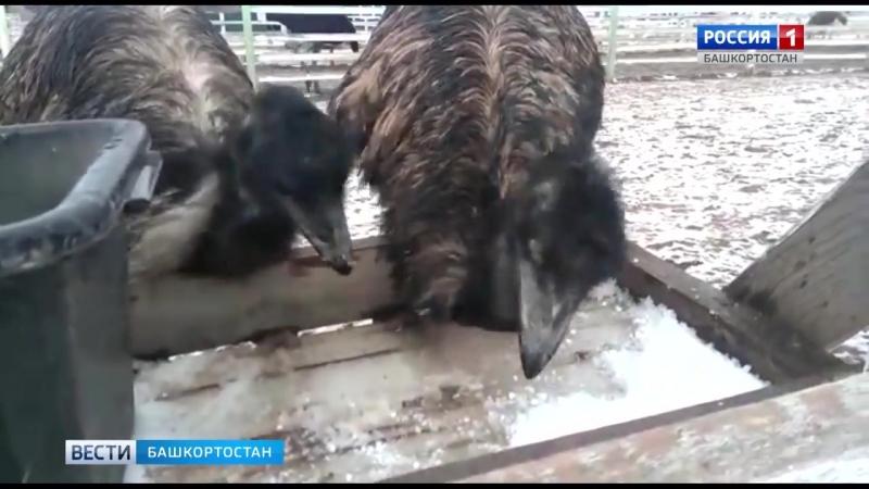 В Башкирии страусы едят град И им нравится