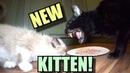 Talking Kitty Cat Meet The New Kitten