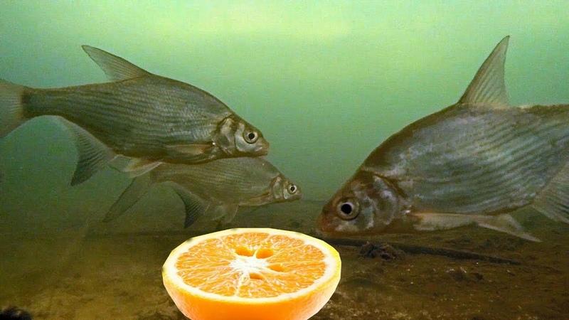 Реакция рыбы на апельсин Лещ окунь плотва Подводная съемка