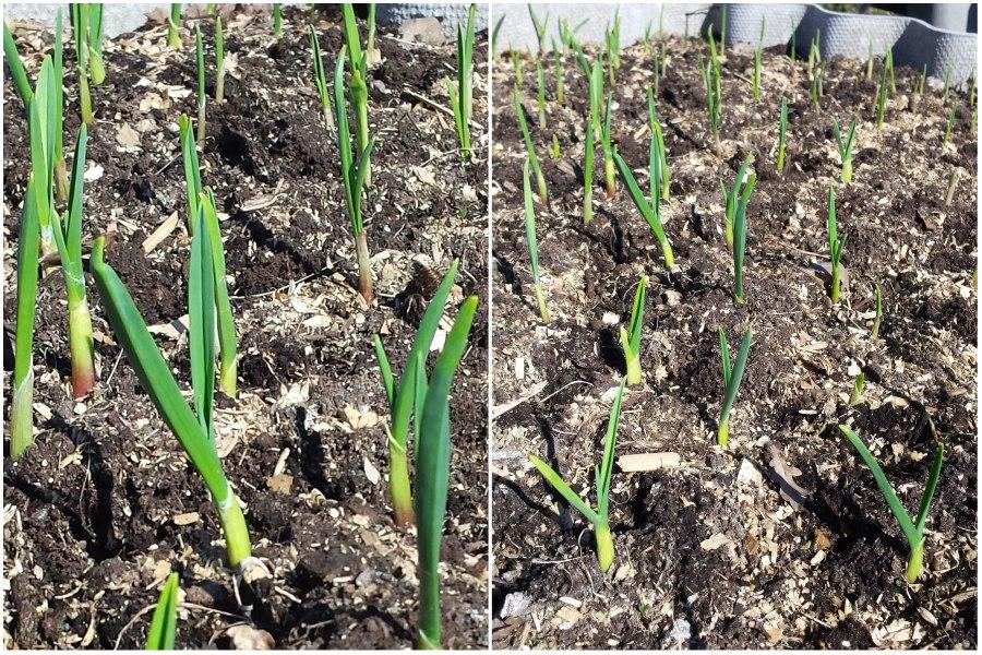 Уход за чесноком весной, чем подкормить чеснок