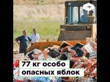 77 кг особо опасных яблок | ROMB