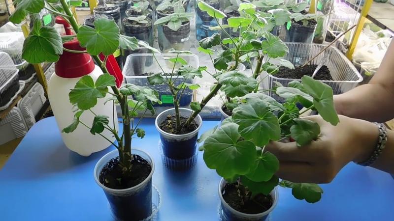 🌹🌹🌹ЛУЧШИЙ СПОСОБ РАЗМНОЖЕНИЯ ГЕРАНИ ПЕЛАРГОНИИ Выращивание черенком отростком