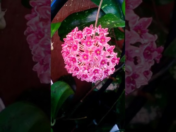 Хойя цветение Tomataensis