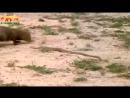 Смертельная схватка между мангустом и королевской кобры. Мангуст против кобры _