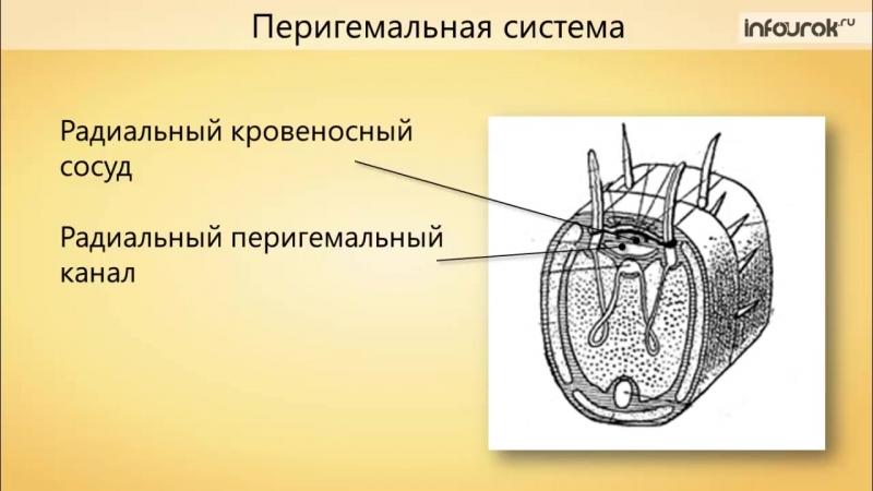 Тип Иглокожие _