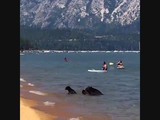 Медведи на общественном пляже