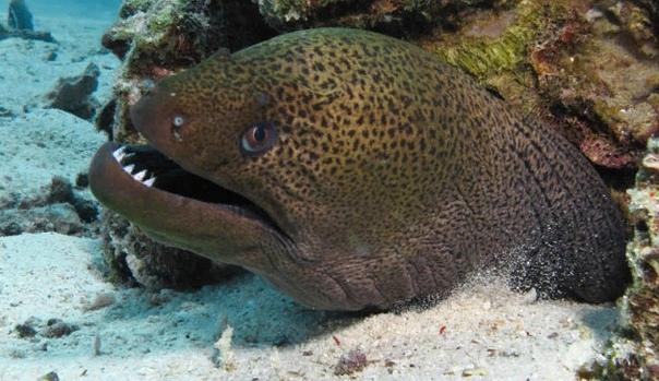 Мурена (лат. Muraena) Эта огромная страшная рыбина очень напоминает змею и не только очертаниями вытянутого тела. Подобно всем угреобразным, мурена плавает и ползает, как истинная змея, заметно