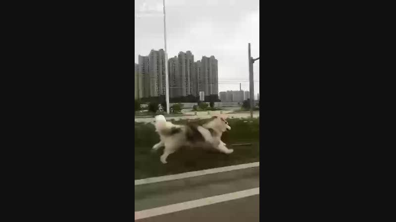 Doggo run brut