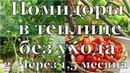 Помидоры в теплице без ухода. 2. Через 1,5 месяца 🍅 Tomatoes in a greenhouse without a care. 2