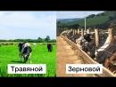 Откорм- травяной или зерновой. Все, что нужно знать о получаемом мясе.
