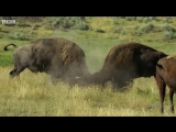 Male Bisons Fight for Harem Rights _ BBC Earth