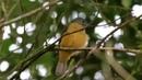 Grey hooded flycatcher Сероголовый пипровый тиранчик Mionectes rufiventris